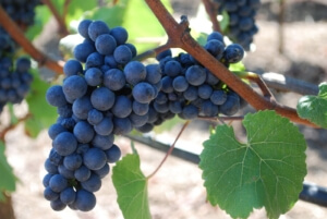 pinot-noir-grape