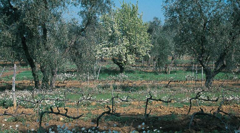 sassicaia-vinyard